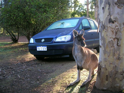 fahrner-kangaroo-australien-2.jpg.